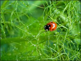 Ladybug on fennel by J-Y-M
