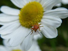 bug on a flower by rosscaughers