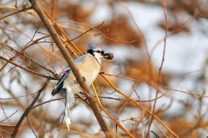 Winter Blue Jay 4116 by mgroberts
