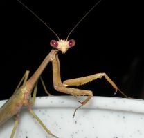 Mantis up close by tomegatherion