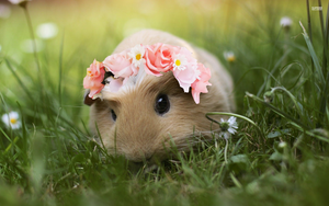 Guinea Pig With A Flower Crown by PrankStarz101