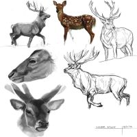 Deer Study by Piratter