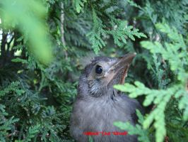 Baby Grackle by Sophie-The-Skunk