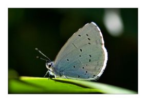 Small Blue Butterfly by henroben
