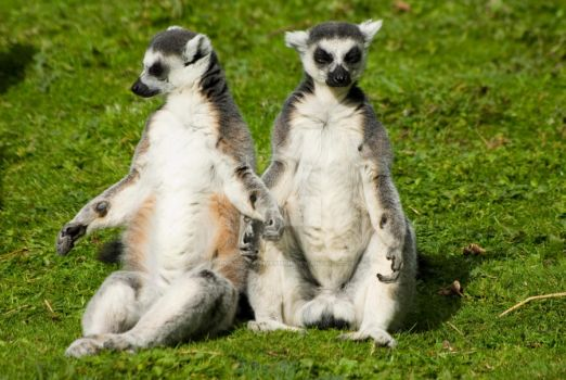 mr and mrs lemur by photographybypixie