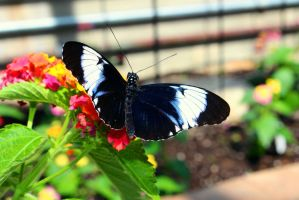Blue Longwing Butterfly by ParadoxGirl411