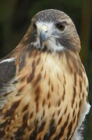 Red-tailed Hawk watching me by DingoDogPhotography