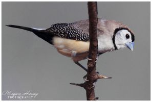Double Barred Finch by OutbackReality