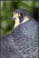 Peregrine Falcon Portrait by nitsch