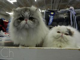 Cat Show 2 by Champineography