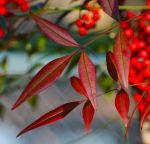 Some Dark Red Leaves by Tailgun2009