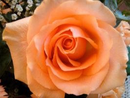 Orange Rose by porpierita