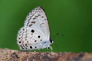 Common Hedge Blue 071110 by inckurei