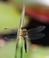 Dragonfly by hundefreund