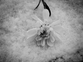 Flower of your heart by Pice-of-Winter