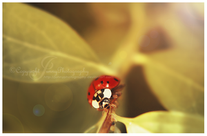 Coccinelle by JunnyPhotography