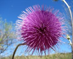 Sprng Thistle by wonenownlee
