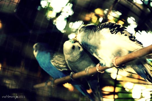 kissing lovebirds by inahleong