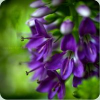 Bluebells by jacqui-kate
