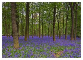 Bluebells in May by SylvesterBvB