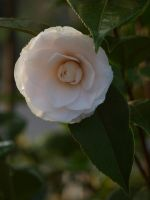 Ice Pink Camellia Stock 05 by botanystock