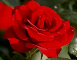 Red is the rose by mohaganbev