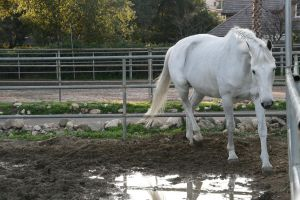 white horse stock 12 by Aestivall-Stock
