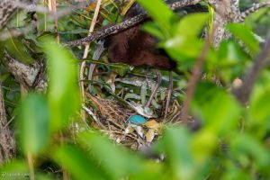 Glossy ibis eggs by CyclicalCore