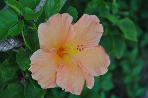 Hawaii Flower Stock 1 by Spiteful-Pie-Stock