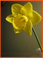 My daffodil by hazeldazel