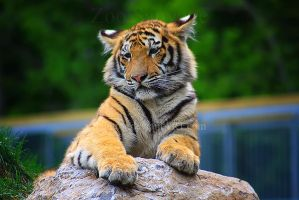 Amur Tiger 2 by Sagittor