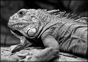 Iguana Black and White by jayvoh