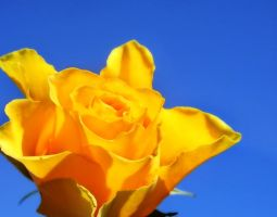 Yellow Rose by nectar666