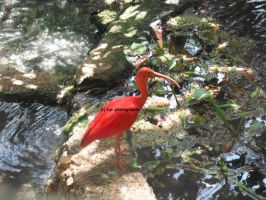 Scarlet Ibis by midnightdream2