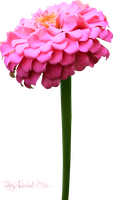 Pink Miniature Zinnia PNG by Thy-Darkest-Hour