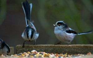 Long Tailed Tits - Three's a crowd by Steve-FraserUK