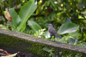 Blackbird of Martinique by A1Z2E3R