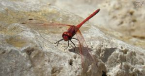 The Crimson Dragonfly (Trithemis annulata) by Tomer-DA