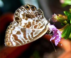 Leptotes plinius by blackrose-oz