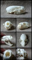 North American River Otter Skull by CabinetCuriosities