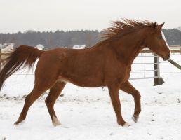 old chestnut gelding galloping in the snow by Nexu4