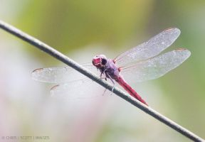 red stinger by theChrisScott