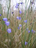 Harebells and Dune grass by Blue-eyed-Kelpie