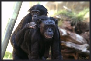 Bonobo Mom And Baby by shutterbugmom