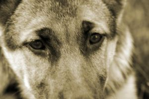 German Shepard Eyes by mfuld