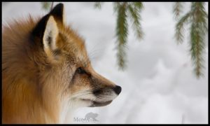 Red fox by meowesty