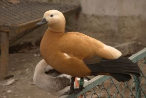 Ruddy shelduck 8 by Panopticon-Stock