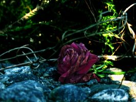 Withered Rose by birdalie
