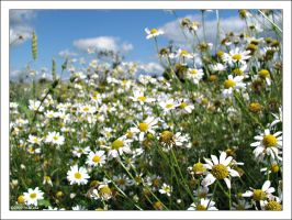 Daisys by annbuht