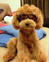Doggles by PoodleSchmoodle